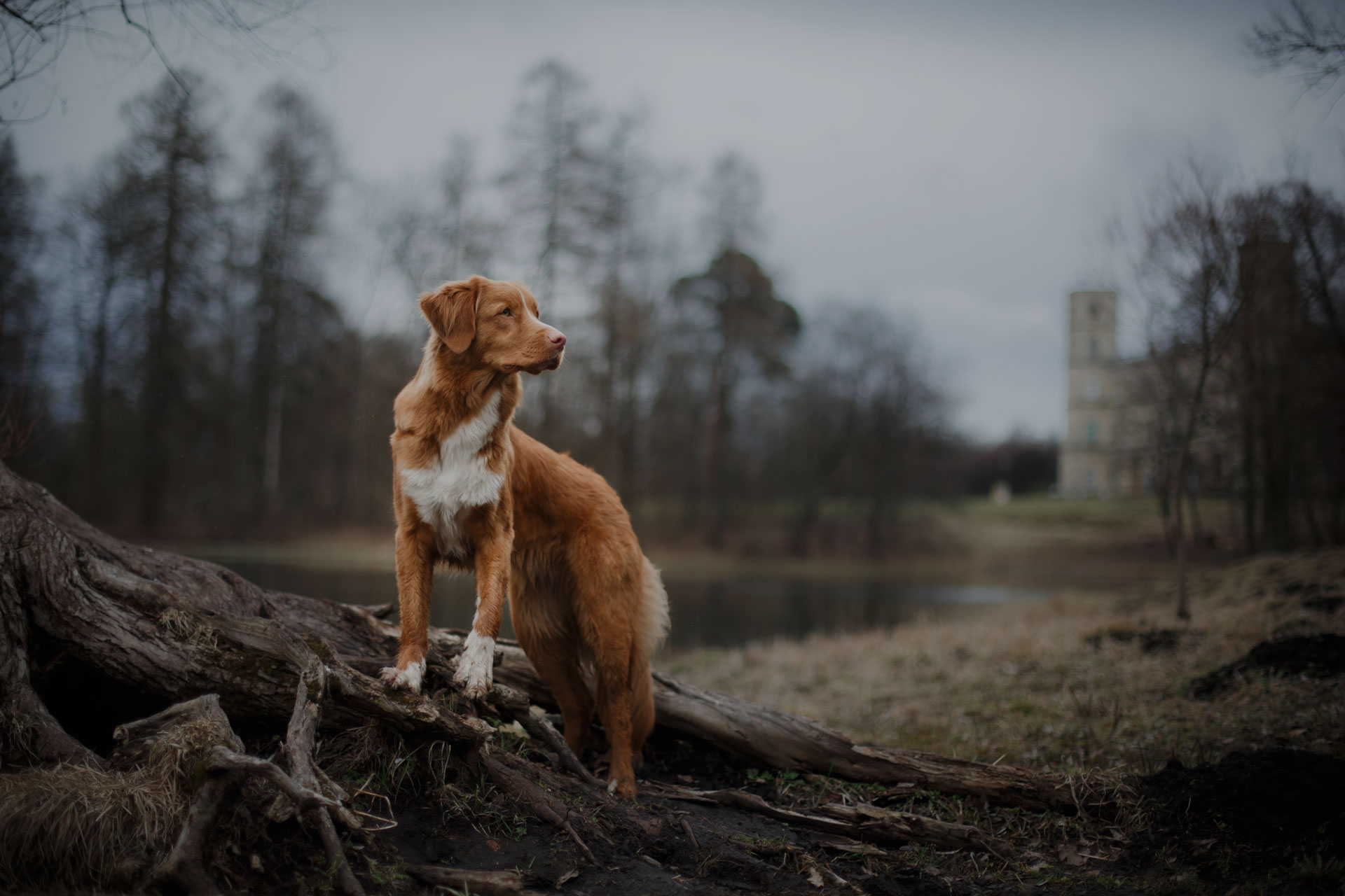 Nova Scotia Duck Tolling Retriever dog in the park