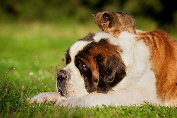 Big saint bernard dog with little toy terrier puppy