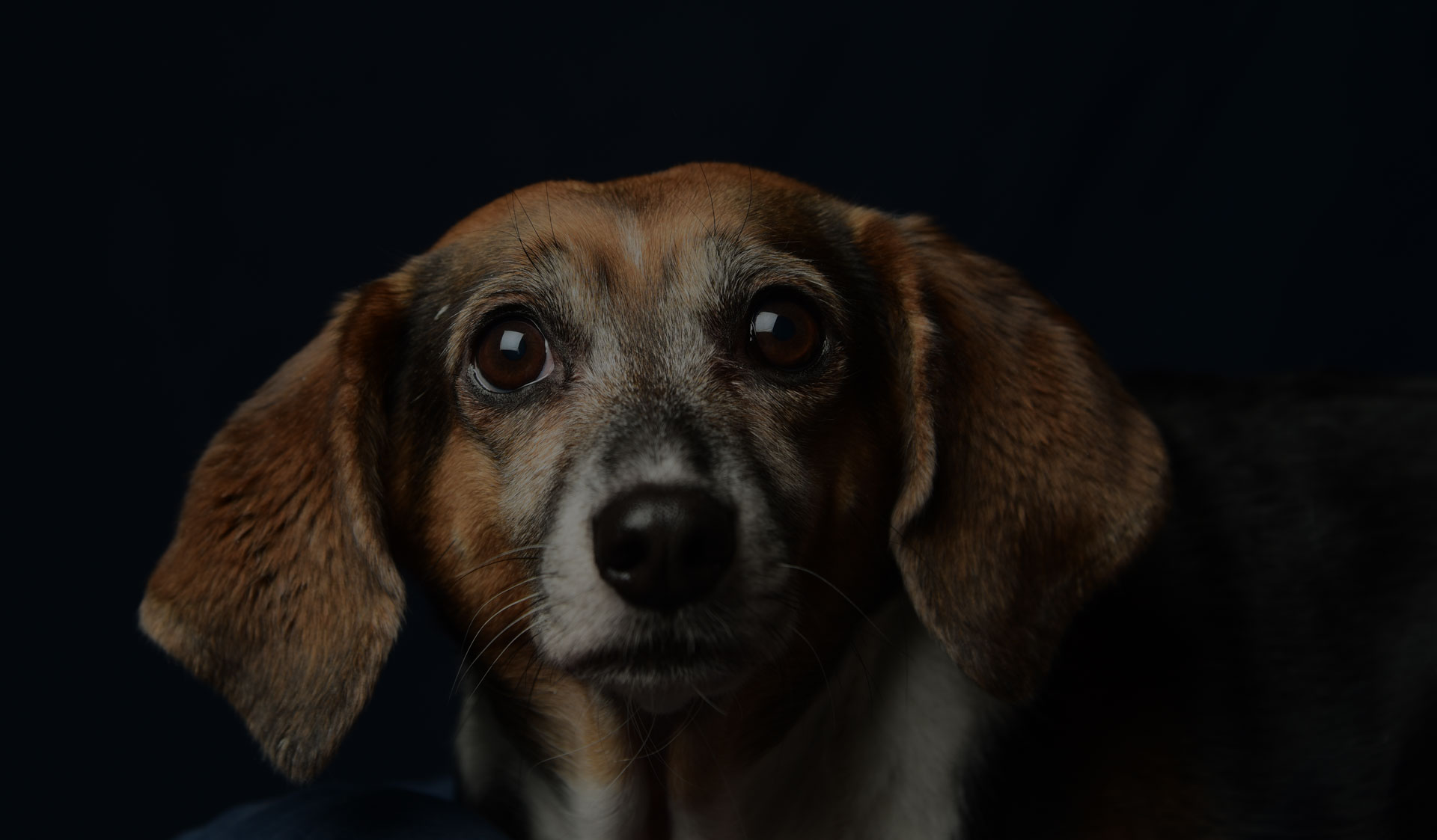 Beagle mix shot against dark background