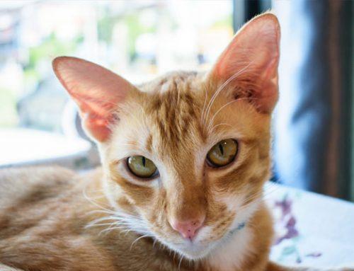 Ew! Phew! The Causes of Bad Cat Breath