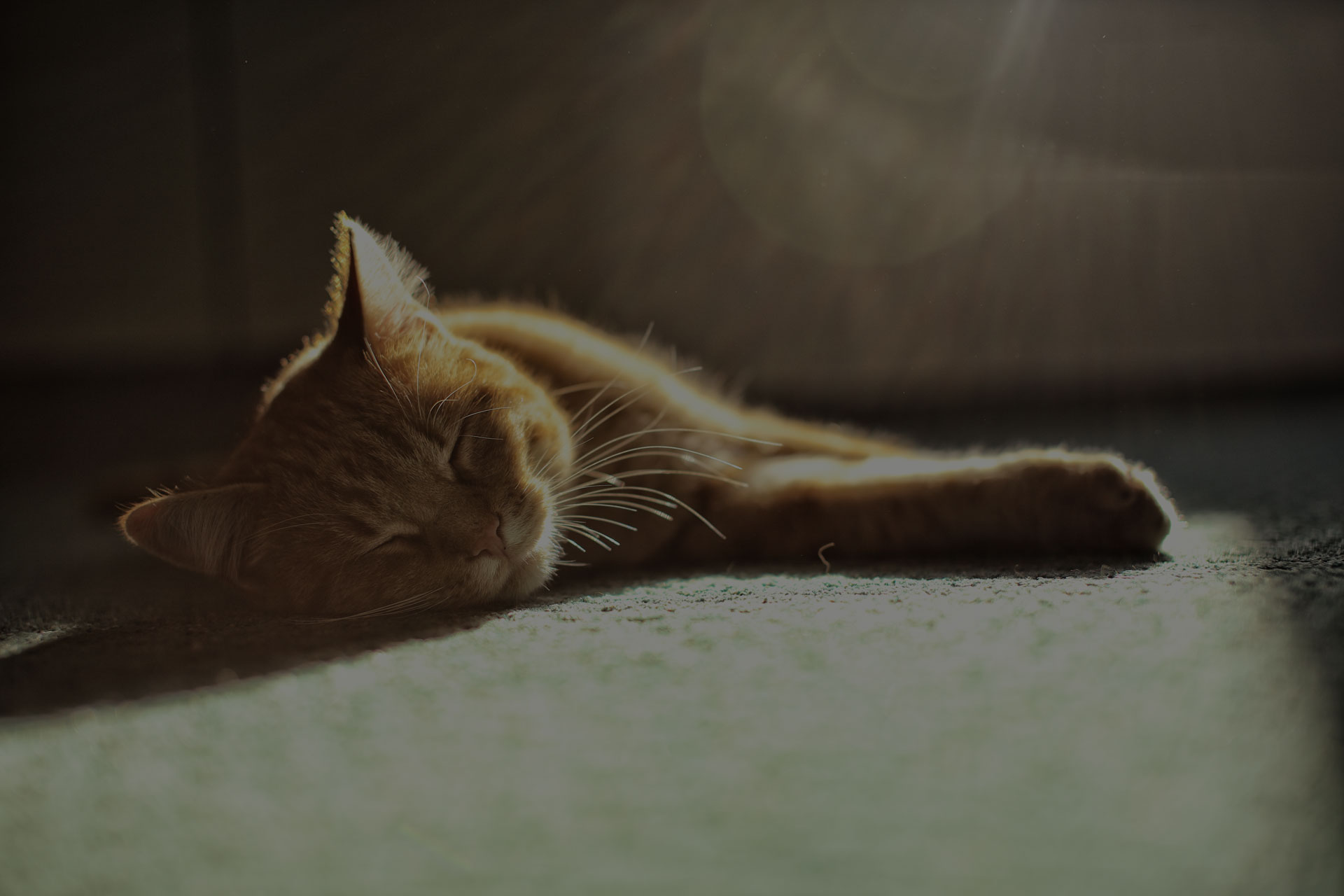 Small beige cat sleeping on greenish carpet with sun beams above