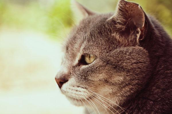 Old cat portrait