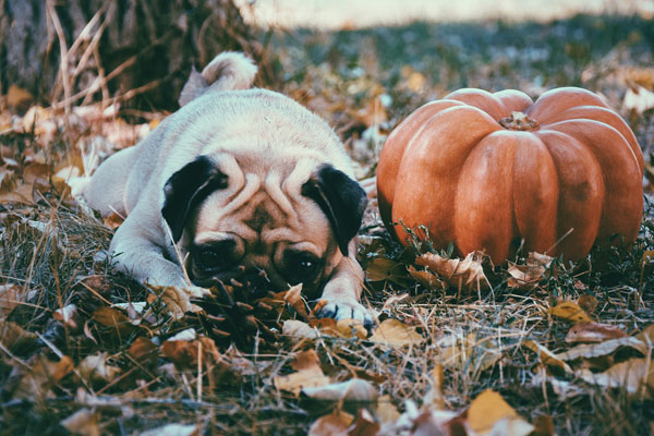 Dog pug in an autumn leaves with pumpkin