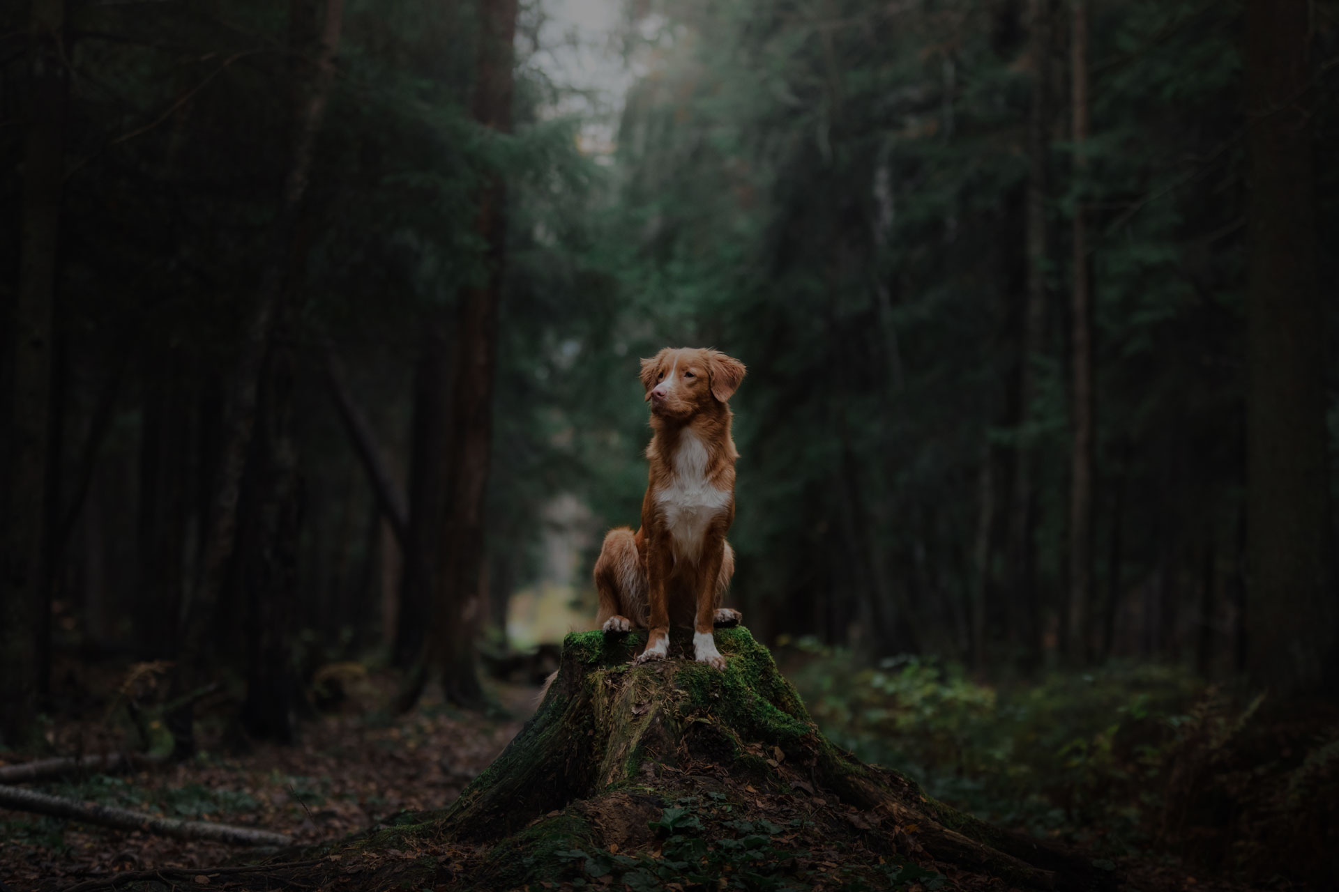 Dog Nova Scotia Duck Tolling Retriever walk in the forest in summer