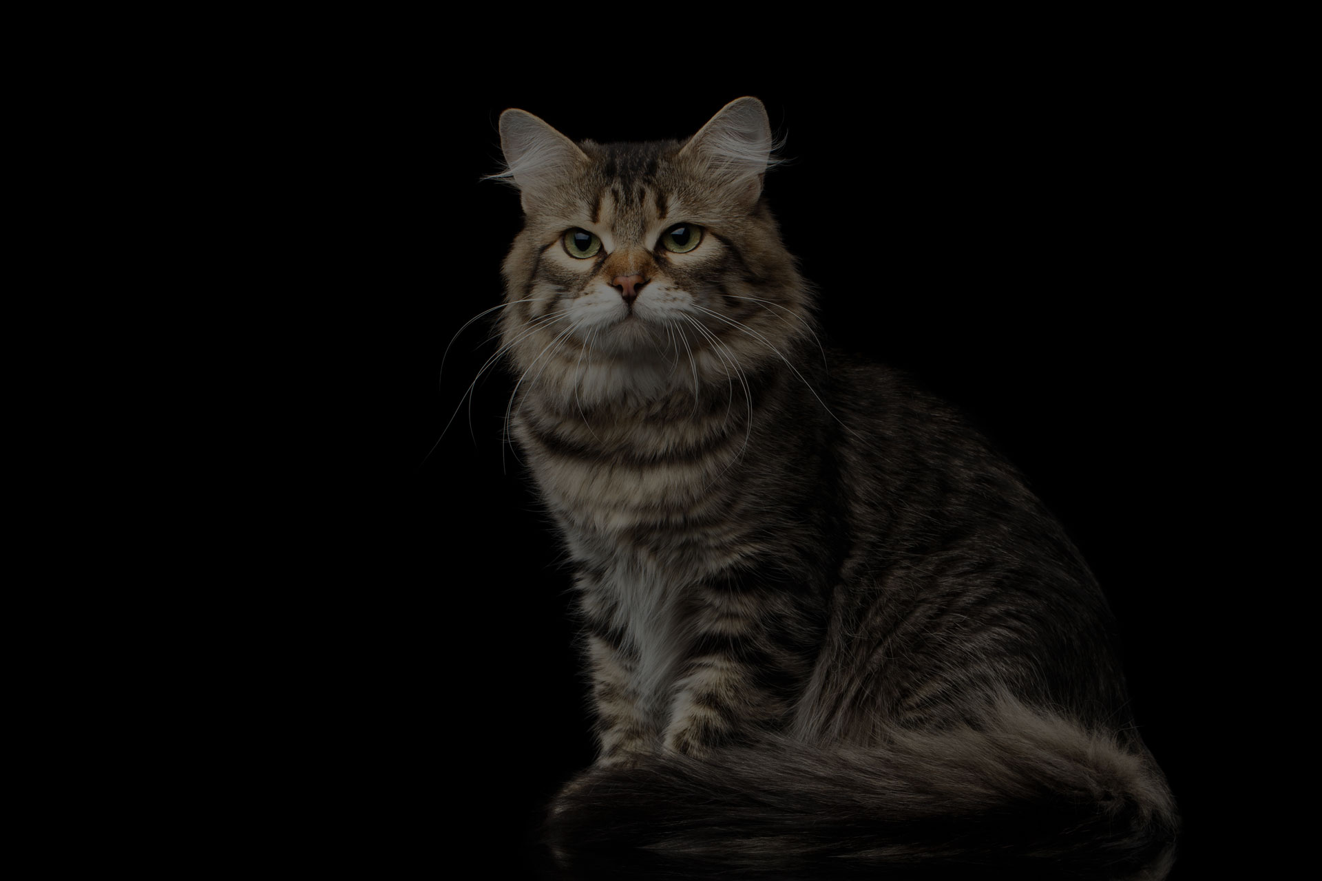 Adorable Siberian Cat Sits with furry tail on isolated black background
