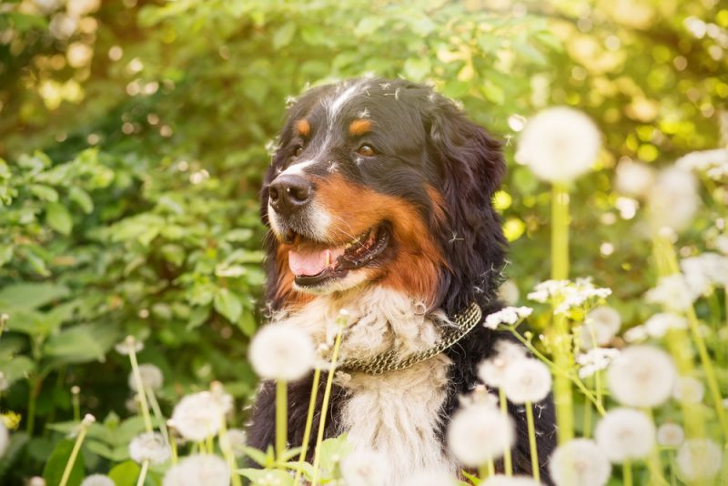 bernese mountain dog sitting in dandelions