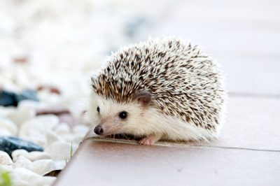 Hedgehog pet animal