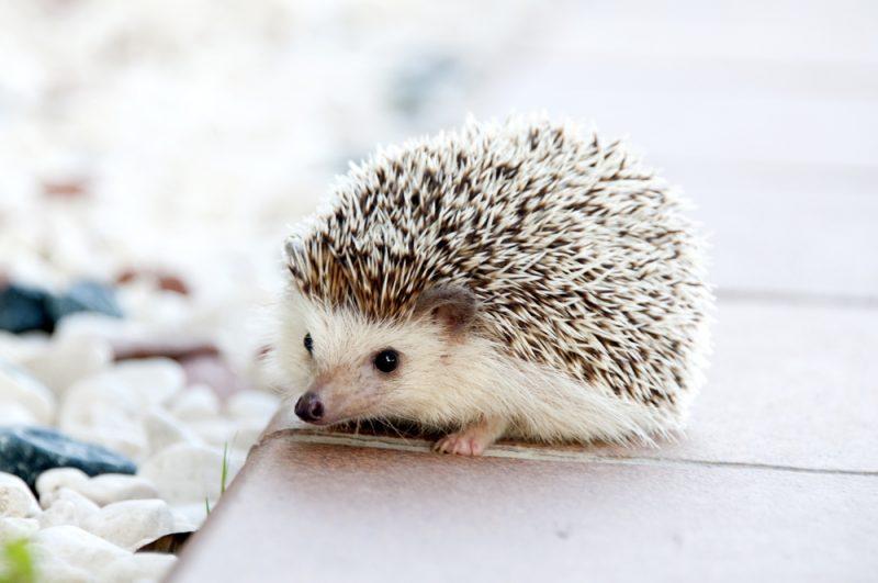 Hedgehog pet animal