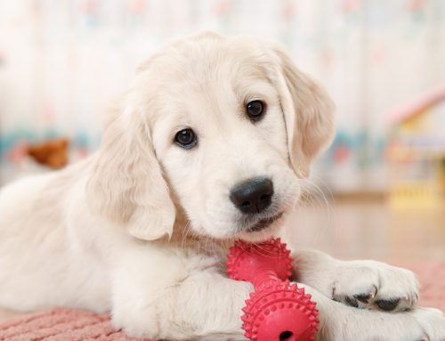 Leave Puppy Preparations to Chance: How to Welcome a New Puppy Home